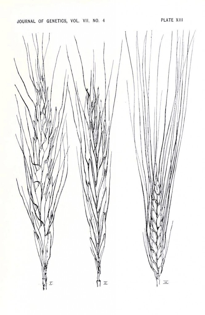 Botanical - Black and white - wheat, genetics