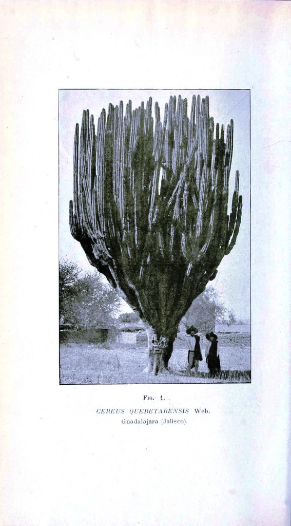 Botanical - Cactus - Giant cactus, photo