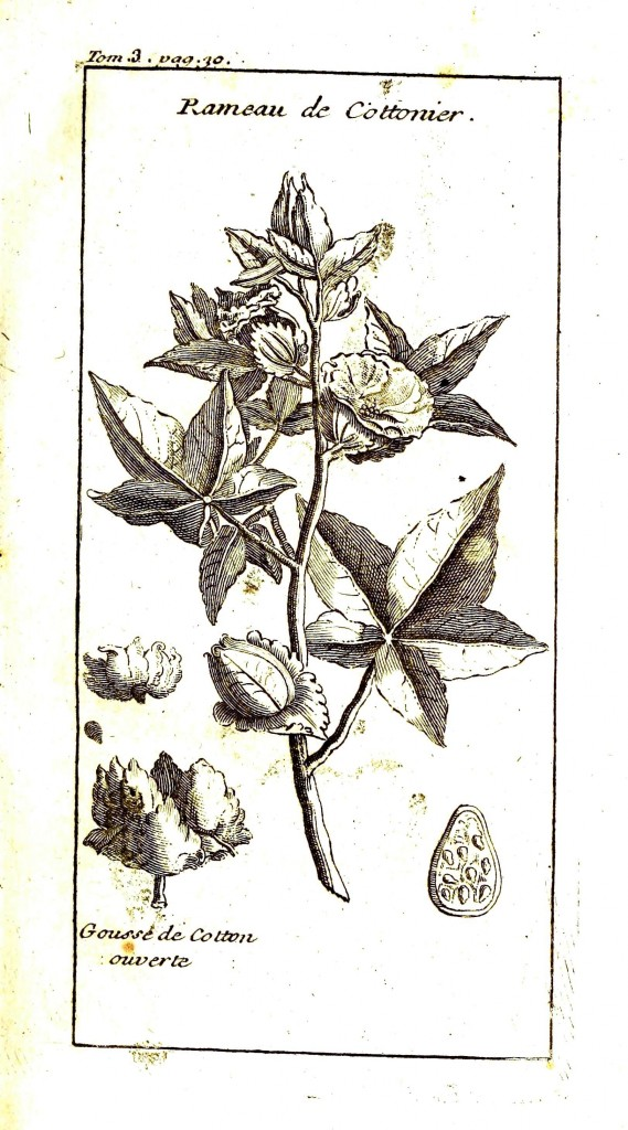 Botanical - Cotton plant