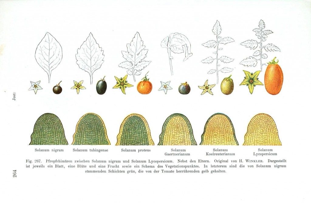 Botanical - Educational plate - Meristematic tissue