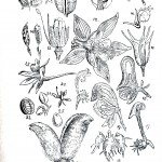 Botanical - Educational plate - Ranunculous anatomy 2