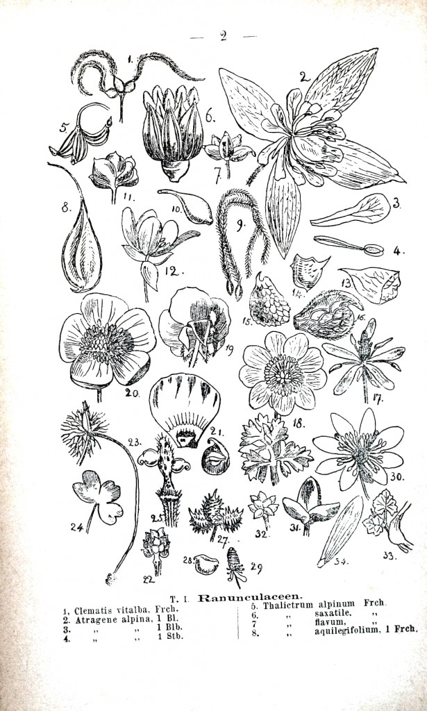 Botanical - Educational plate - Ranunculous anatomy