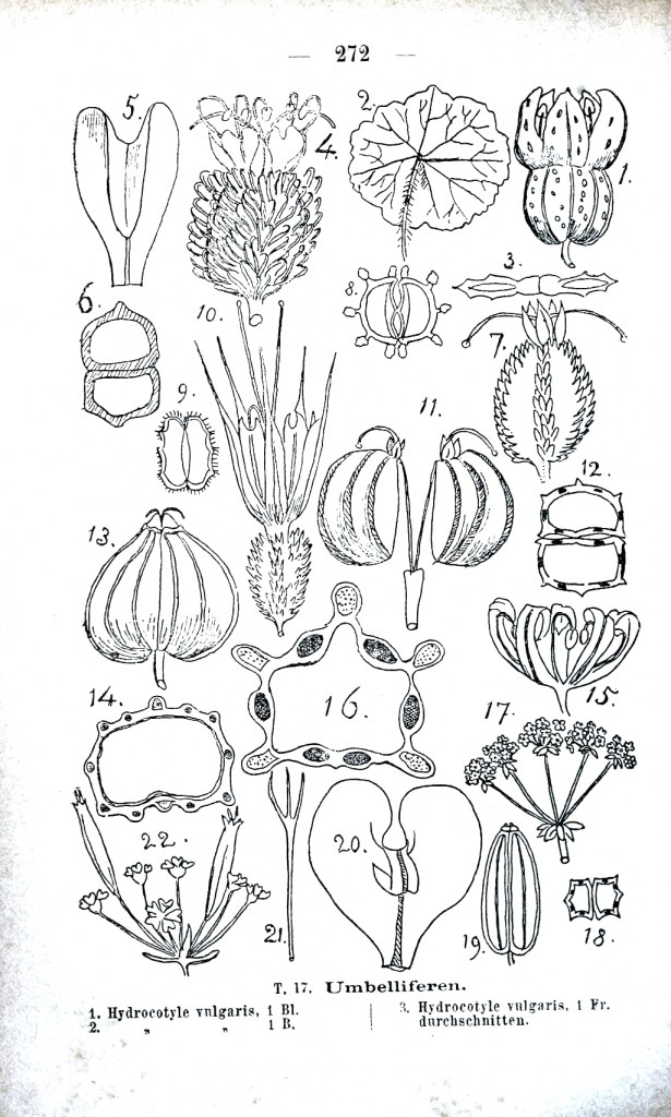Botanical - Educational plate - Umbilliferaceae anatomy
