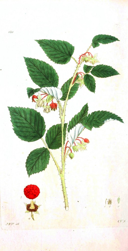 Botanical - Flower - Berry flower
