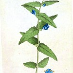 Botanical - Flower - Blue flowers