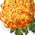 Botanical - Flower - Chrysanthemum, orange