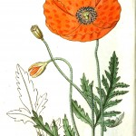 Botanical - Flower - Icelandic poppy
