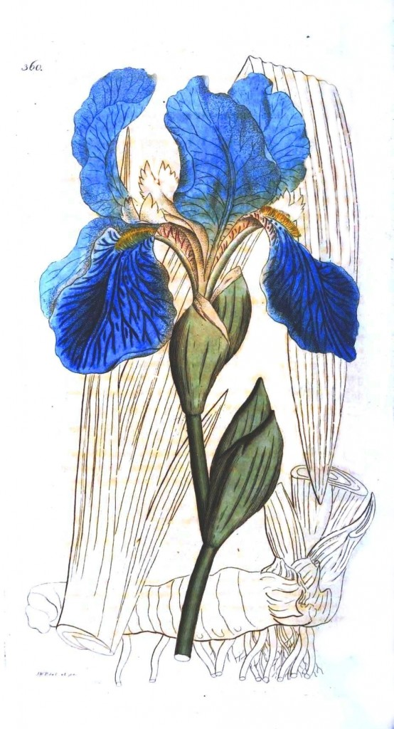Botanical - Flower - Iris, blue