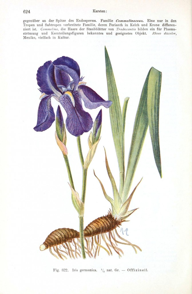 Botanical - Flower - Iris germanica