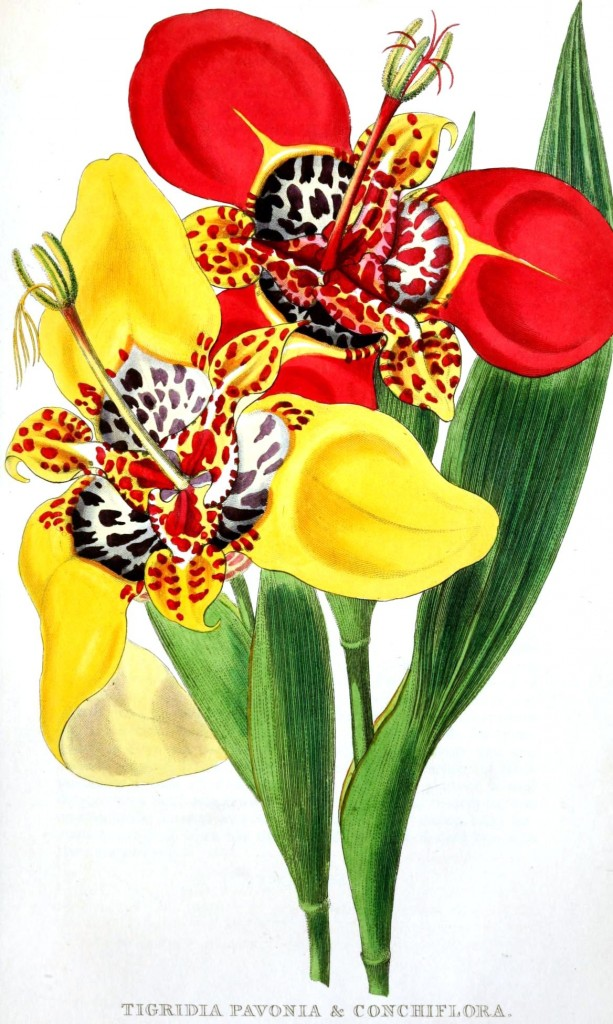 Botanical - Flower - Lillies - Conchiflora