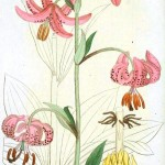 Botanical - Flower - Lilly, Asiatic