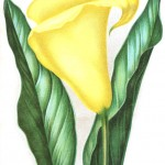 Botanical - Flower - Lilly, Calla