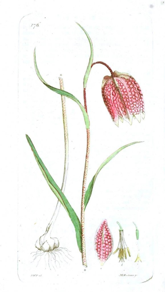 Botanical - Flower - Lilly, troutish lilly