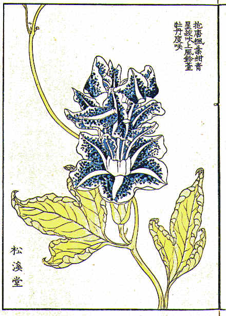 Botanical - Flower - Morning glory, Japanese 2