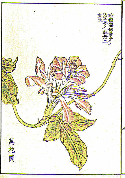 Botanical - Flower - Morning glory, Japanese 3
