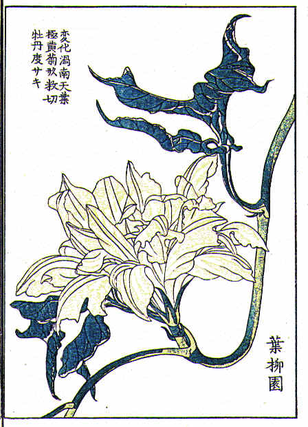 Botanical - Flower - Morning glory, Japanese 7
