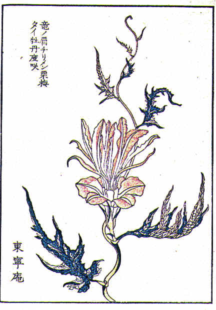 Botanical - Flower - Morning glory, Japanese 8