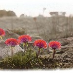 Botanical - Flower - Photo, red flowers in Africa