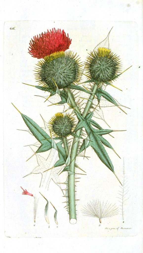 Botanical - Flower - Thistle