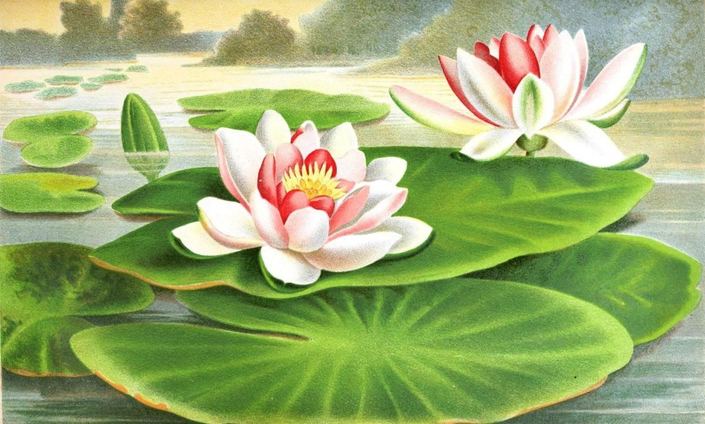 Botanical - Flower - Water lillies