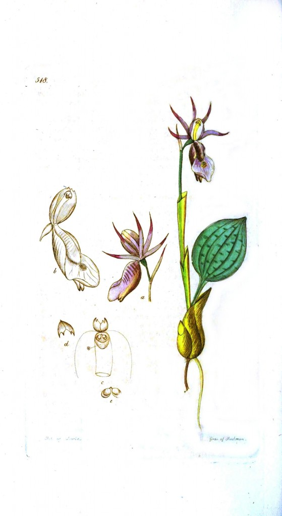 Botanical - Flower - Wild orchid
