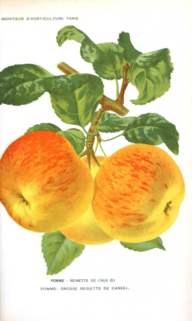 Botanical - Fruit - Apples, French