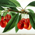 Botanical - Fruit - Cherries on tree
