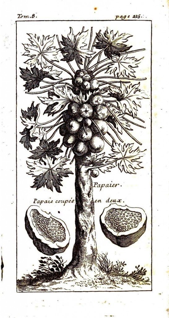 Botanical - Fruit - Papaier