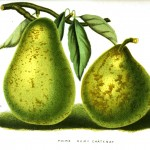 Botanical - Fruit - Pears, poire remy