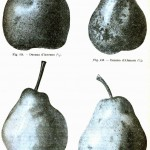 Botanical - Fruit - Pears, various