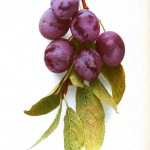 Botanical - Fruit - Plum - Photo
