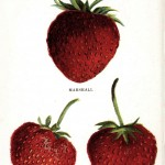 Botanical - Fruit - Strawberry varieties 4
