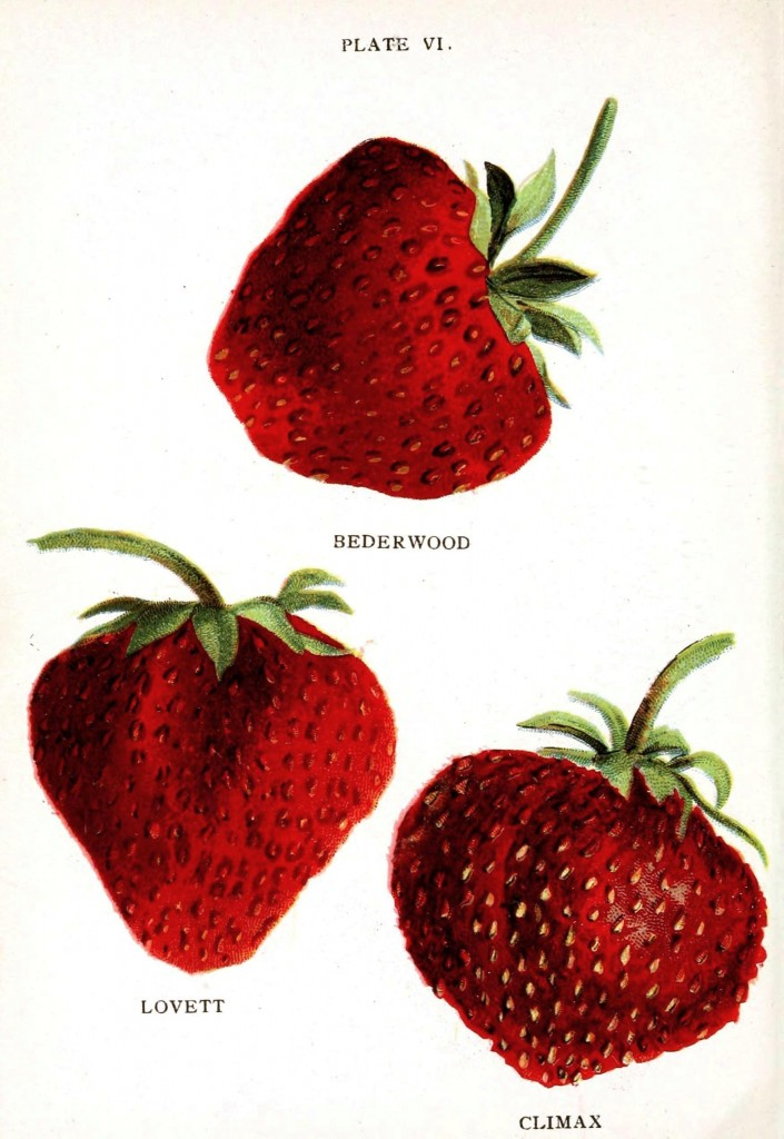 Botanical - Fruit - Strawberry varieties 5