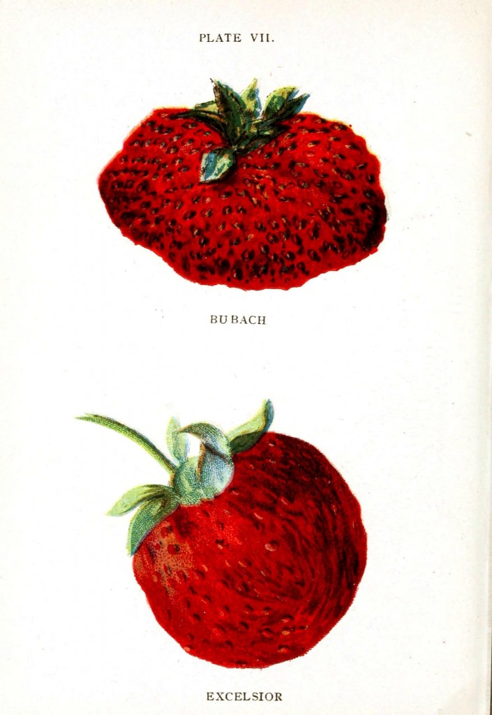 Botanical - Fruit - Strawberry varieties 6
