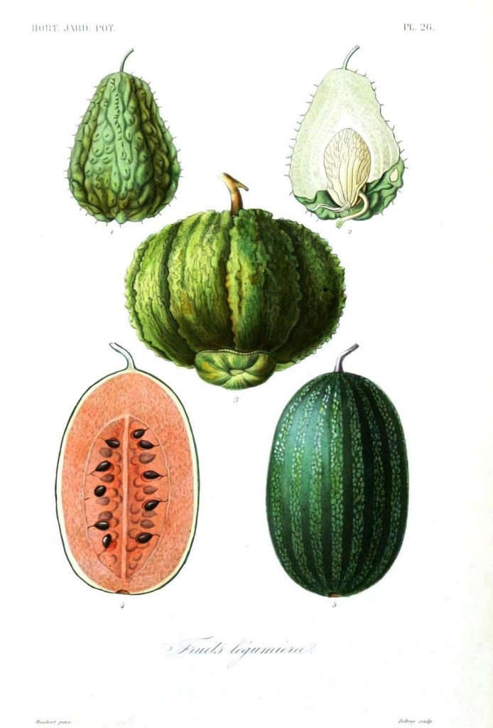 Botanical - Fruits 1 - Melons