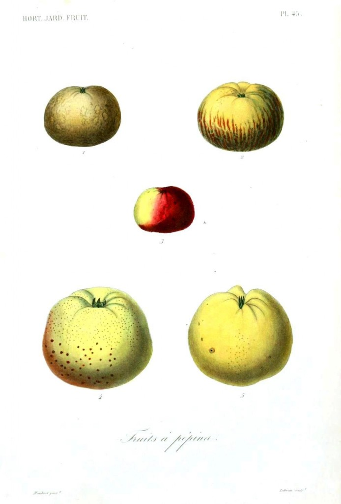 Botanical - Fruits 11 - Apples