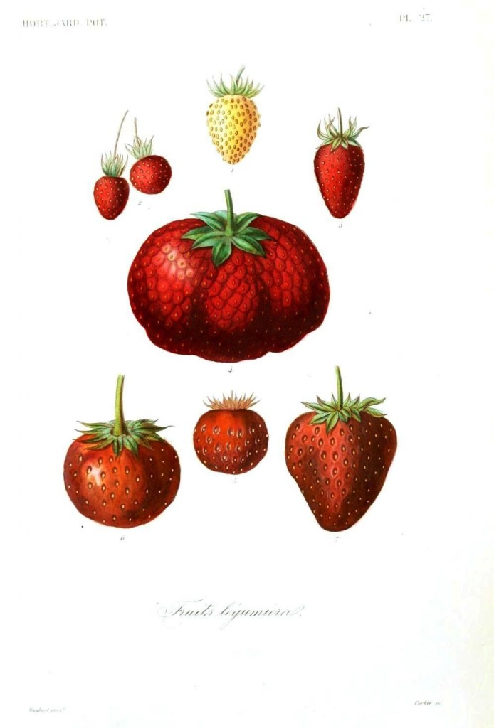 Botanical - Fruits 2 - Berries