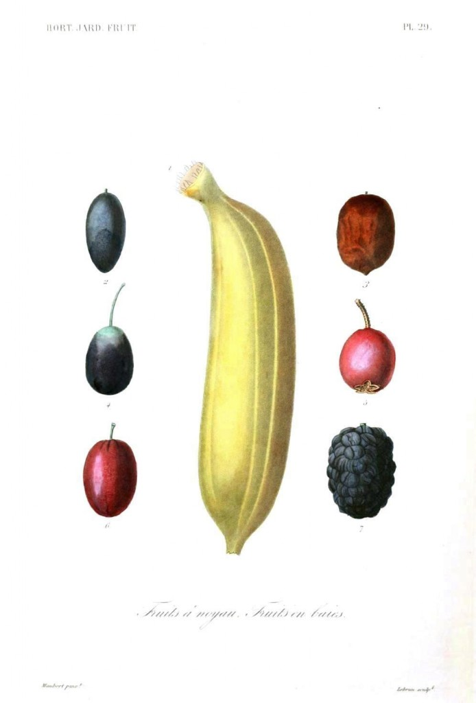 Botanical - Fruits 4 - Banana