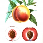 Botanical - Fruits 5 - Peach