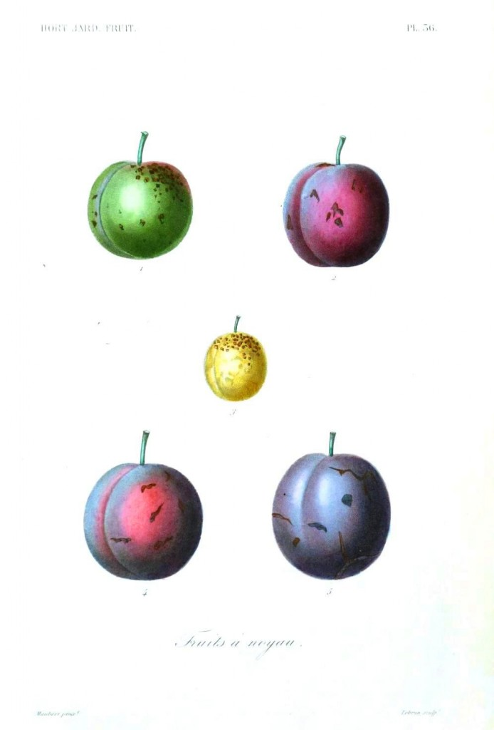 Botanical - Fruits 6 - Plum