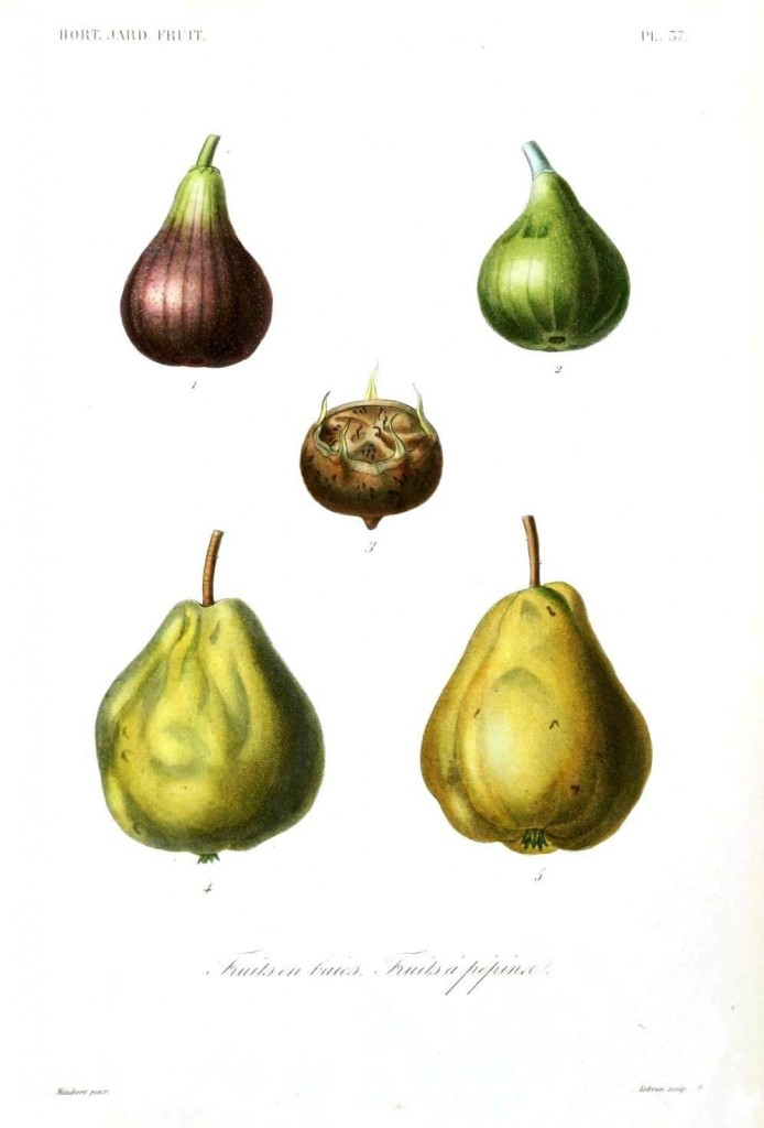 Botanical - Fruits 7 - Pears, figs