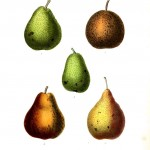 Botanical - Fruits 8 - Pears