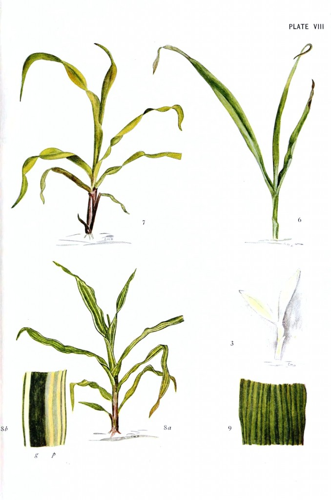 Botanical - Genetics - Corn plant, educational plate