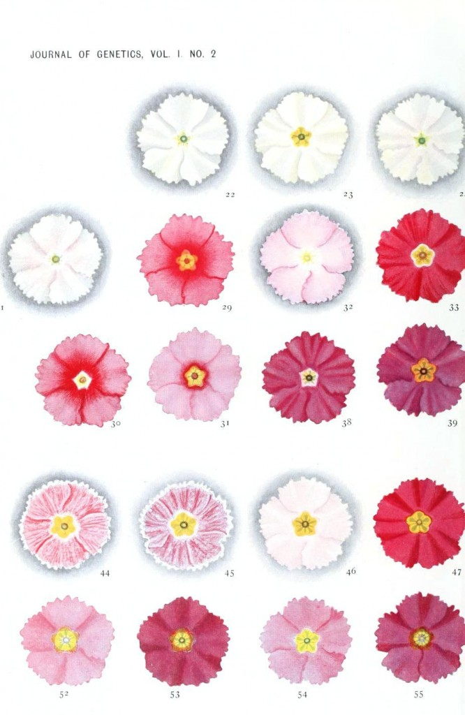 Botanical - Genetics - Flower color educational plate, primula 1