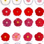 Botanical - Genetics - Flower color educational plate, primula 2