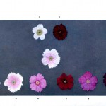 Botanical - Genetics - Flower color educational plate, primula 3