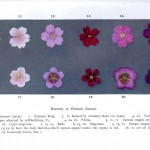 Botanical - Genetics - Flower color educational plate, primula 4