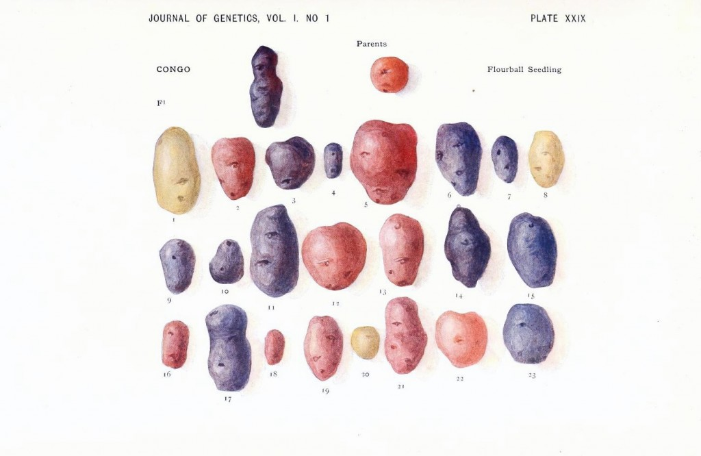 Botanical - Genetics - Potatoes, color