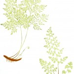Botanical - Leaf - Fern, British Fern   (1)