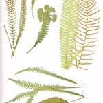 Botanical - Leaf - Fern, British Fern   (11)